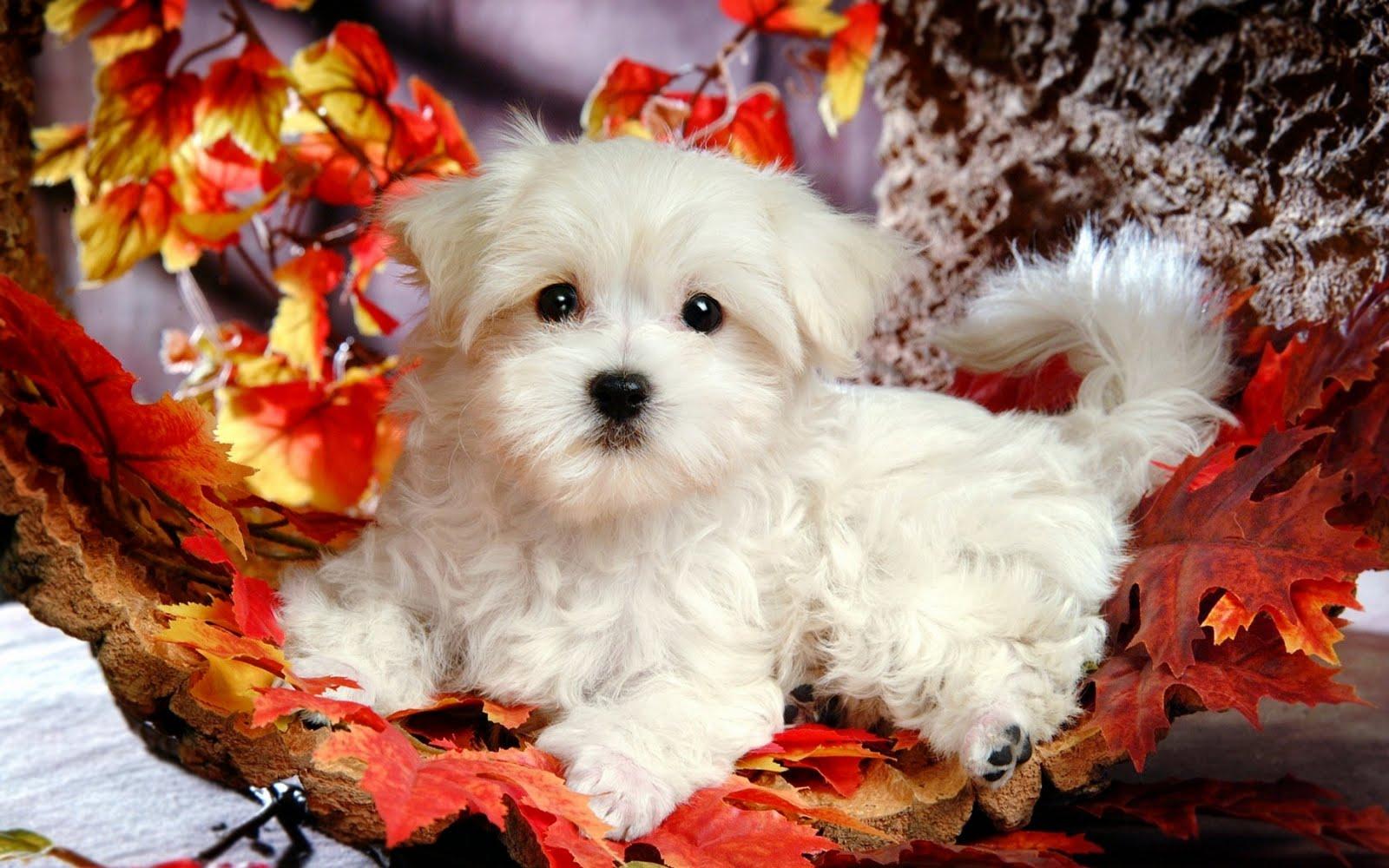 Cute Puppy Wallpaper   Wide1680x1050 Hd Wallpaper 1600x1000