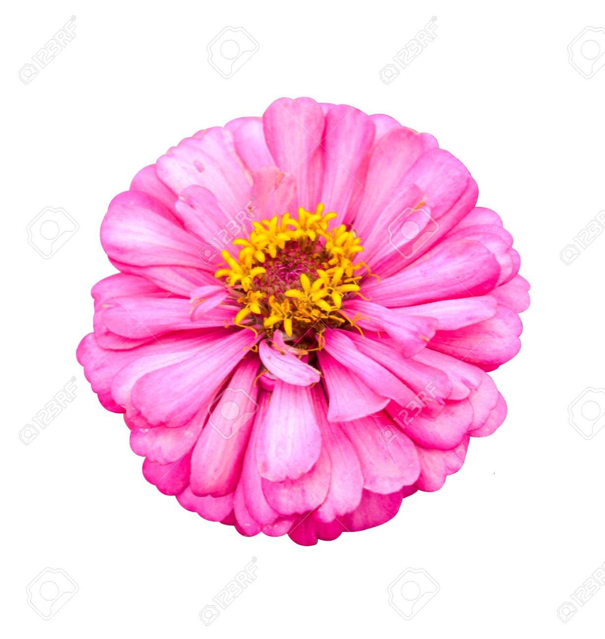 Pink Zinnia Flower On White Background Stock Photo Picture And 1232x1300