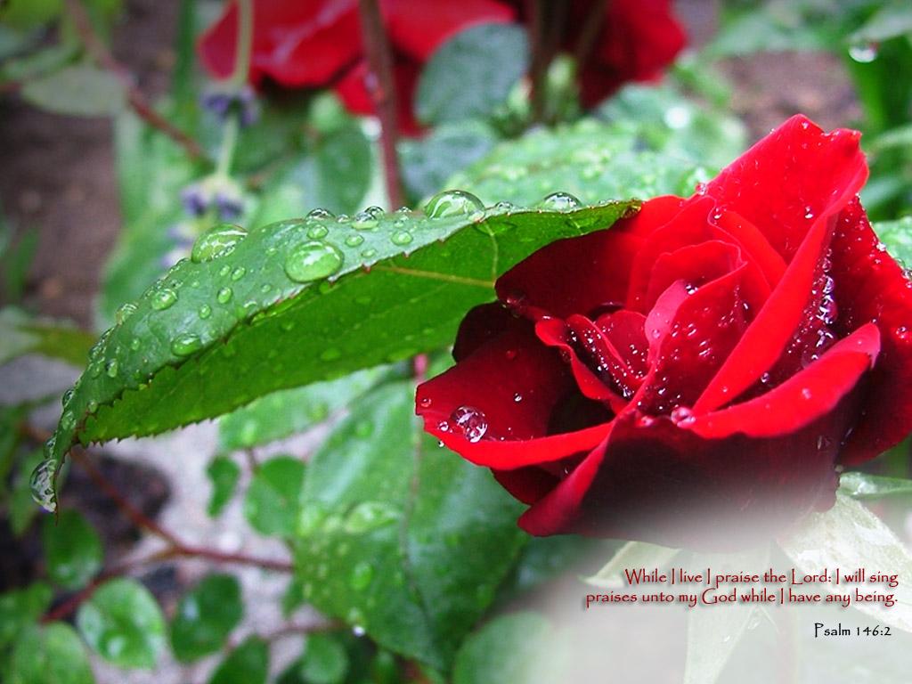 Cat Red Rose Wallpapers White Rose Wallpaper for Desktop Backgrounds 1024x768