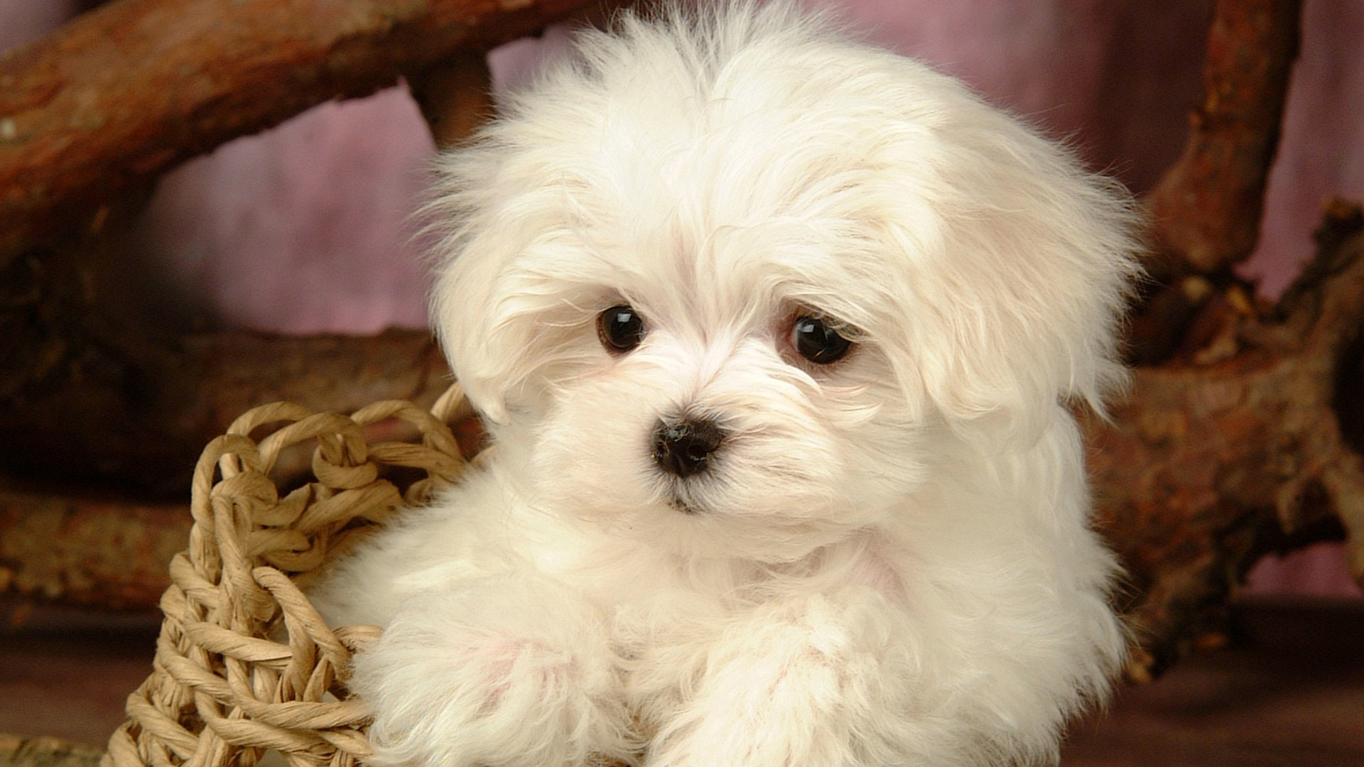 Cute dog hd wallpapers for girls desktop wallpaper 1920x1080
