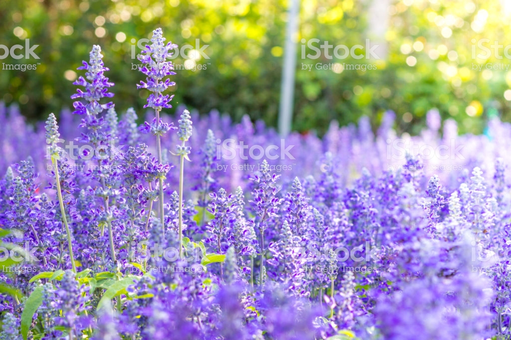 Blue Salvia Background Flower Stock Photo   Download Image Now 1024x682