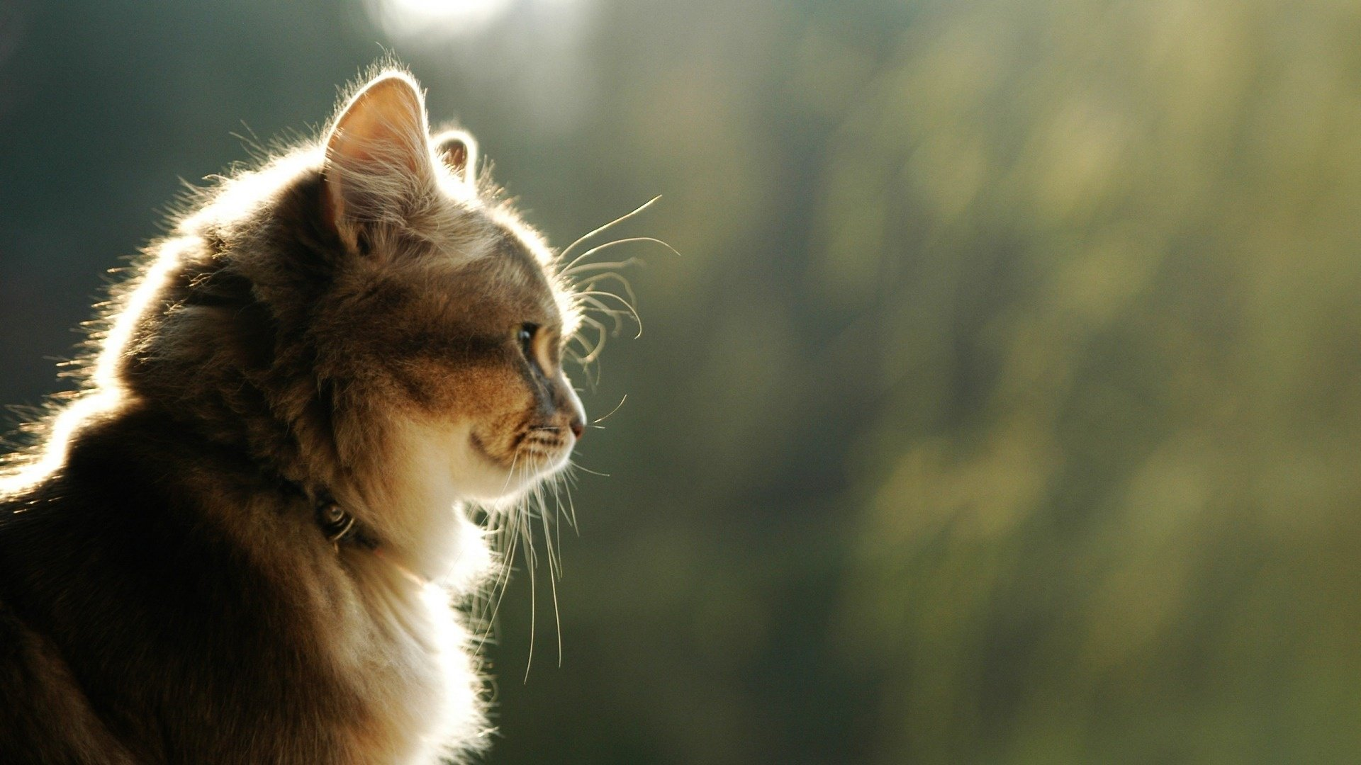 Cat Background Observing Beautiful Animals Desktop wallpapers HD 1920x1080
