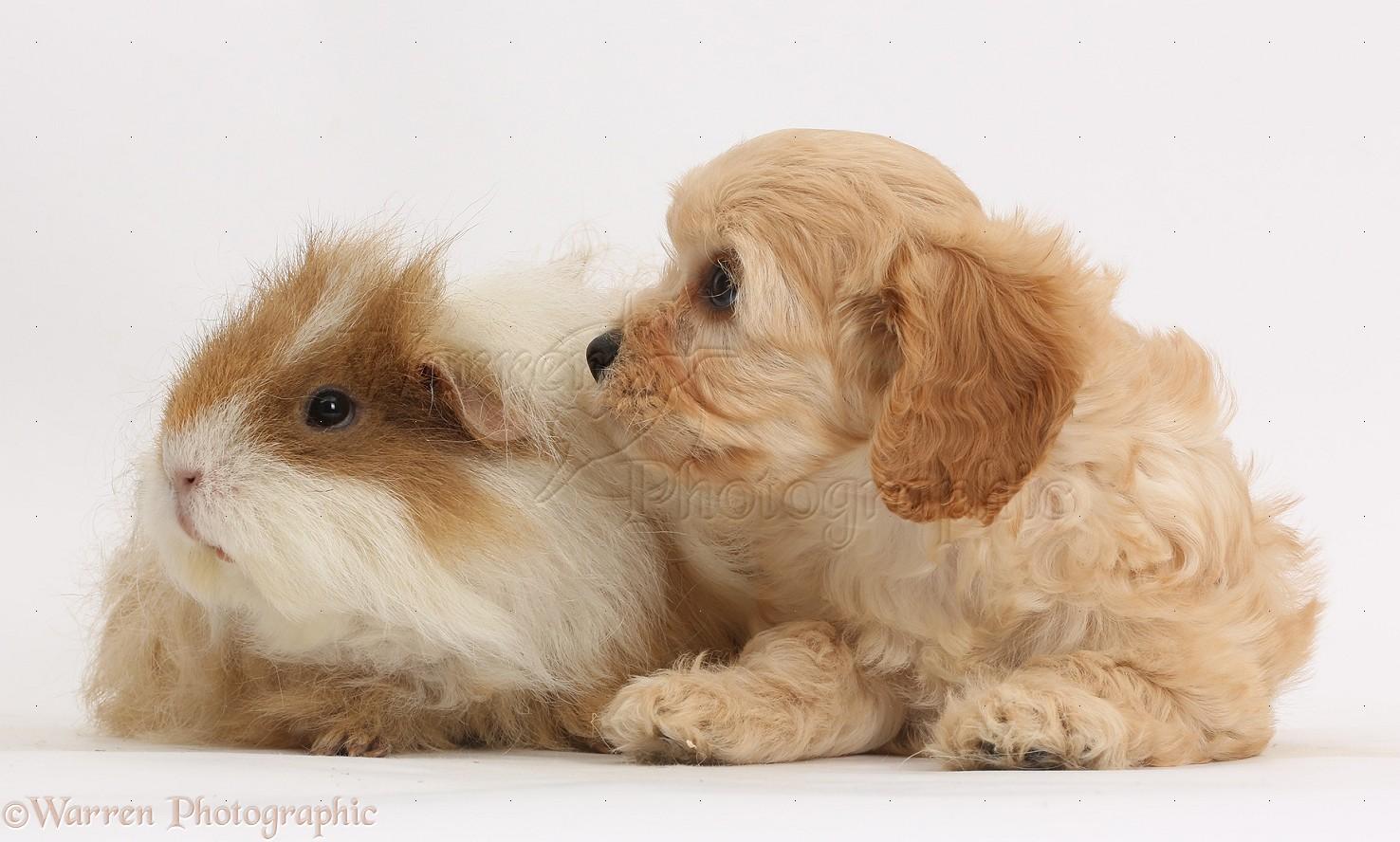 Cute Cavapoo Pup And Shaggy 1476x888