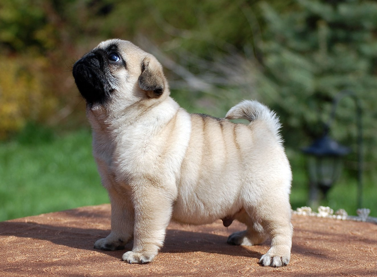 Cute Pug Puppy Pugggys and occasionally other cute things Pinte 1323x971