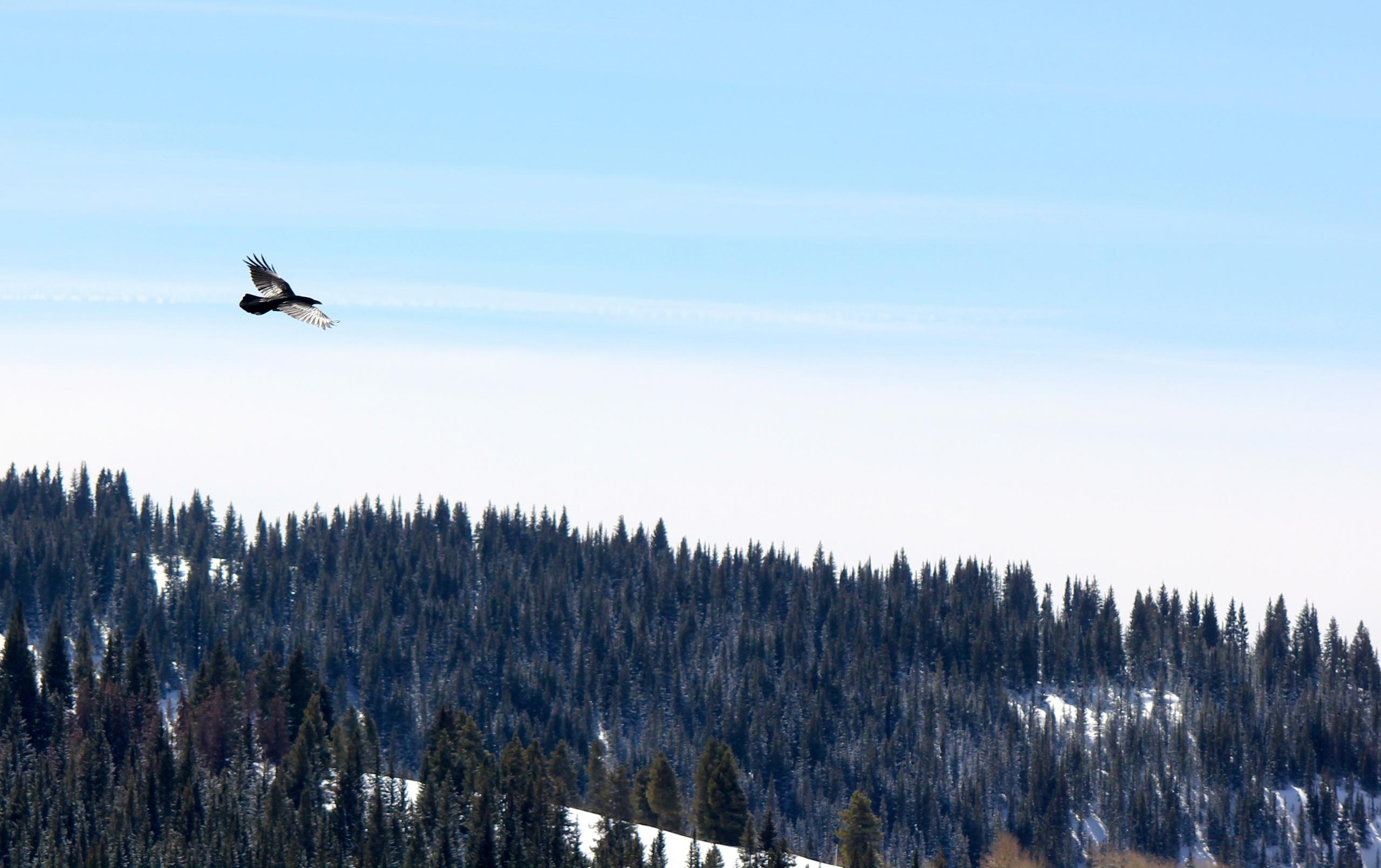 Wildlife fotografi gambar Raven flying over Vail Colorado HD 2560x1609