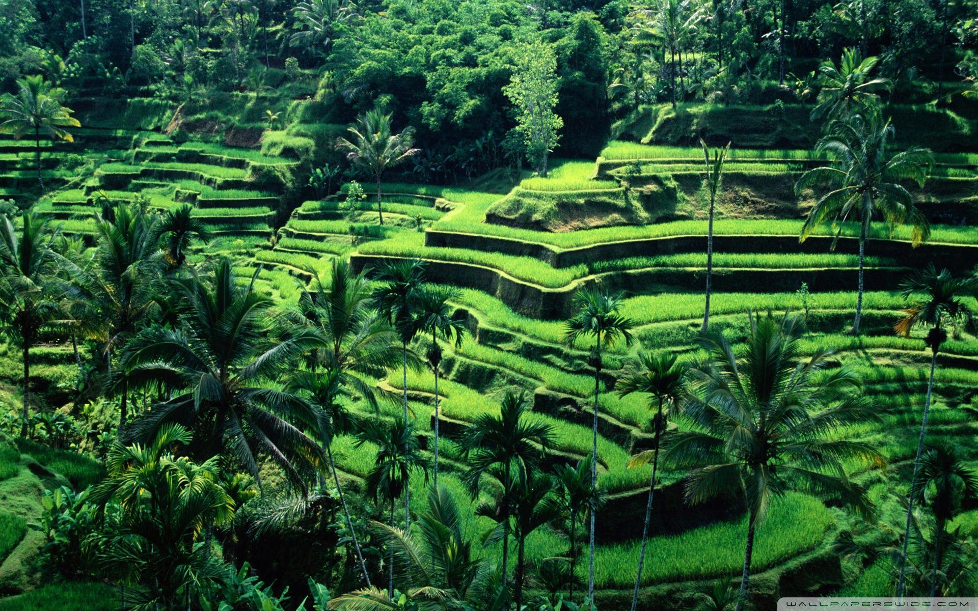 Rice Fields Bali Indonesia Wallpapers   Top Rice Fields Bali 1920x1200