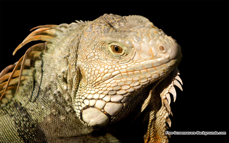 iguana 1440x900