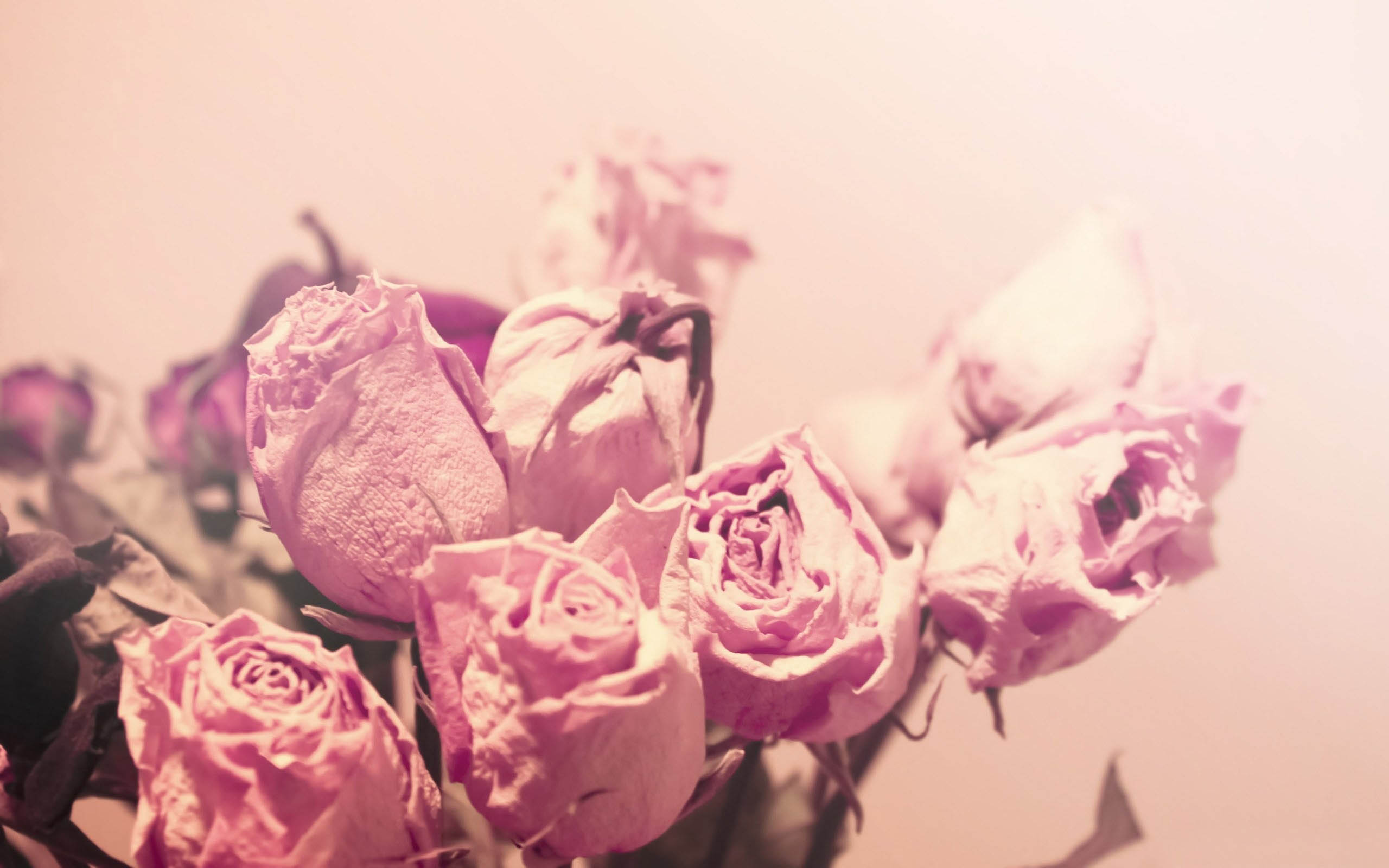 Pink Roses Tumblr Photography Wallpapers 2560x1600