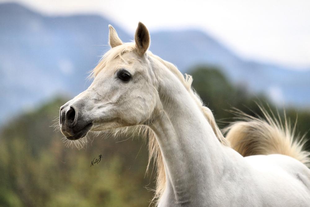 Arabian Horses Wallpaper - WallpaperSafari
