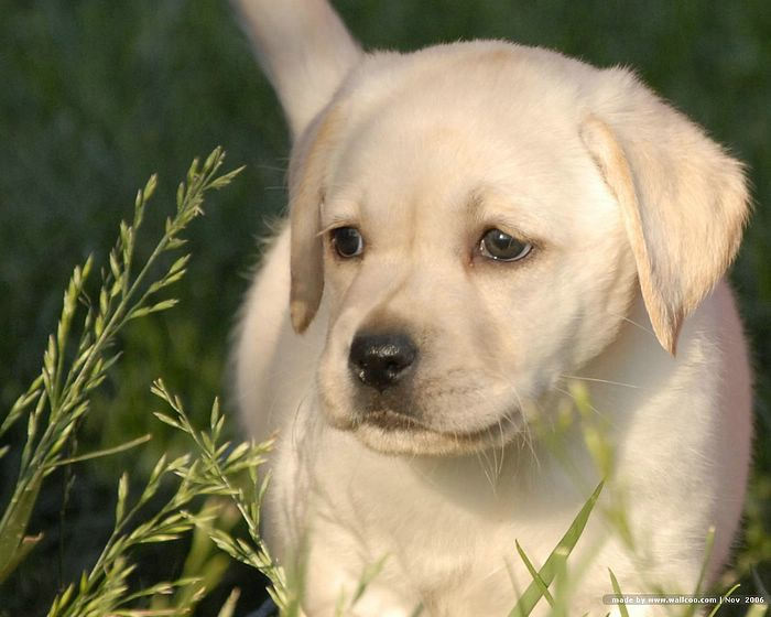 Labrador Puppy Picture Labrador Puppies wallpaper Labrador dogs 700x560