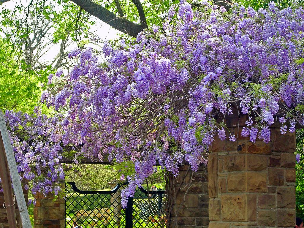 Wisteria wallpaper wallpapersafari for Pianta rampicante con fiori viola a grappolo