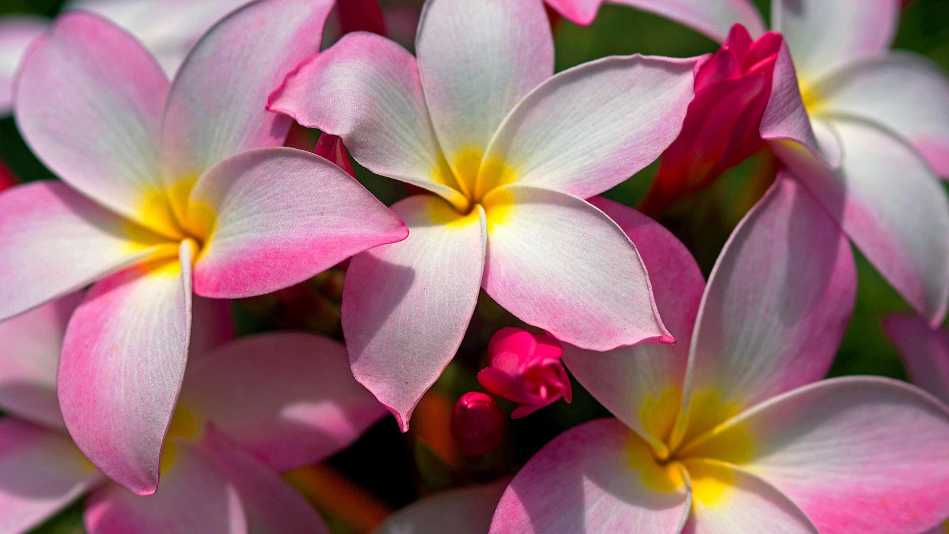 Hawaiian Flowers Wallpaper HD