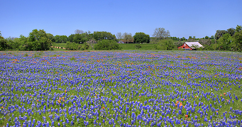 redbarn bluebonnets Desktop Wallpaper By coffeemuses Flickr 500x263