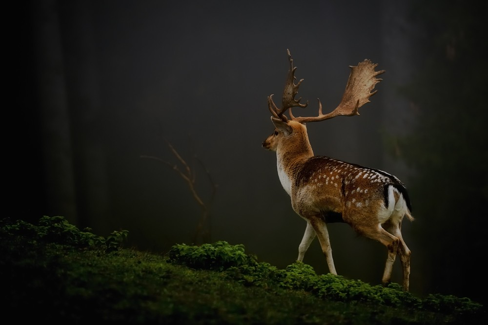 Deer Photos HD Wallpapers HD Nature Wallpapers 1000x667