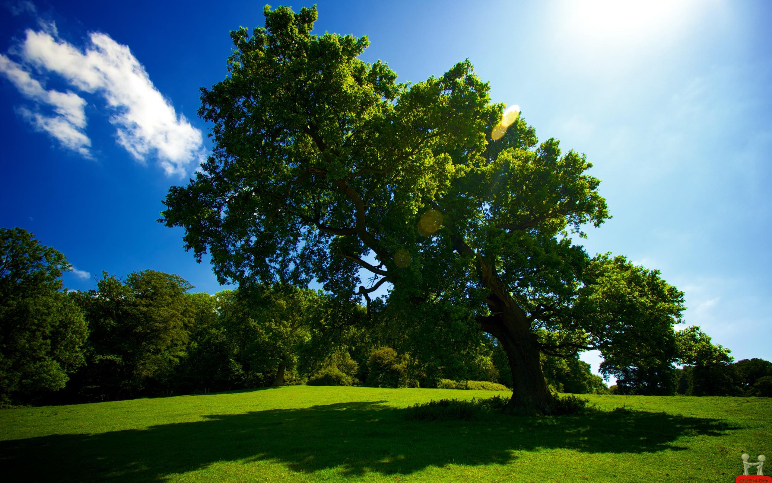 Beautiful Big Green Tree HD Wallpaper HD Wallpapers Download 2559x1600