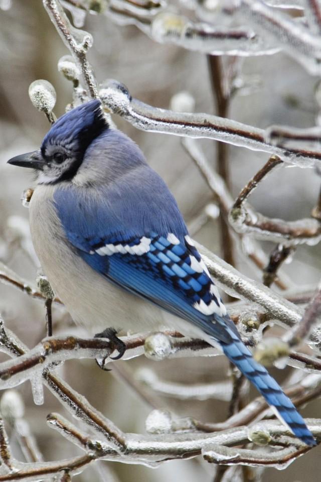 Blue Jay Bird Wallpaper Wallpapersafari