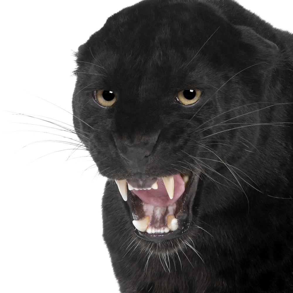 Angry Cat Free Desktop Wallpaper - WallpaperSafari