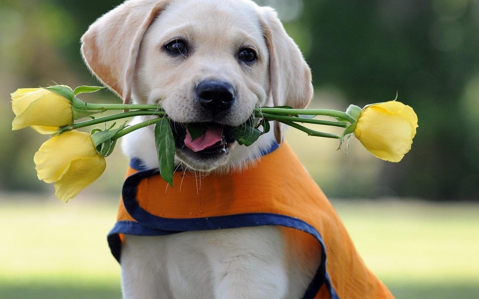 HD Yellow Lab Puppy Wallpapers and Photos HD Animals Wallpapers 1600x1000