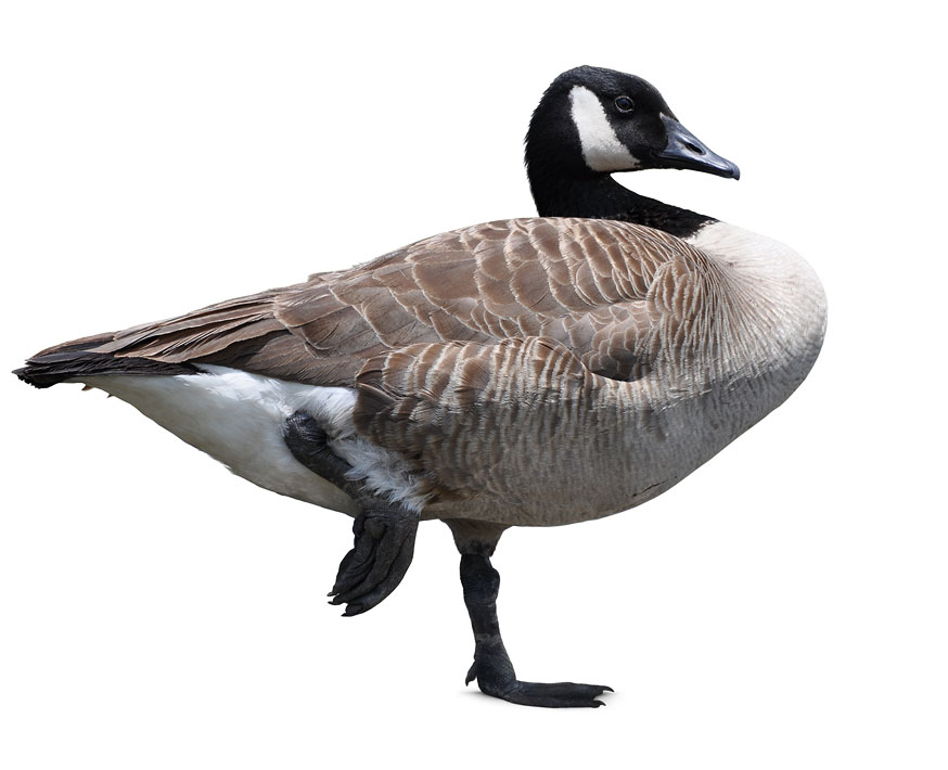 Canada Goose isolated Pictures Stock Photos Wild Retina 874x710