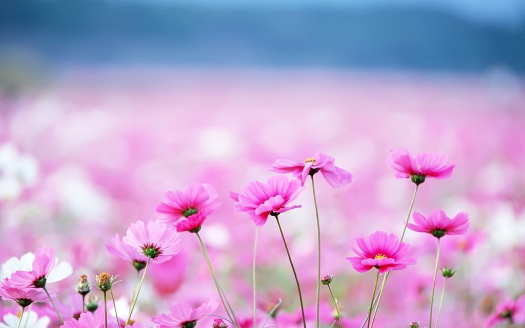 Pink Flowers Valley On Desktop Wallpaper 4235625 1024x640 All 1024x640