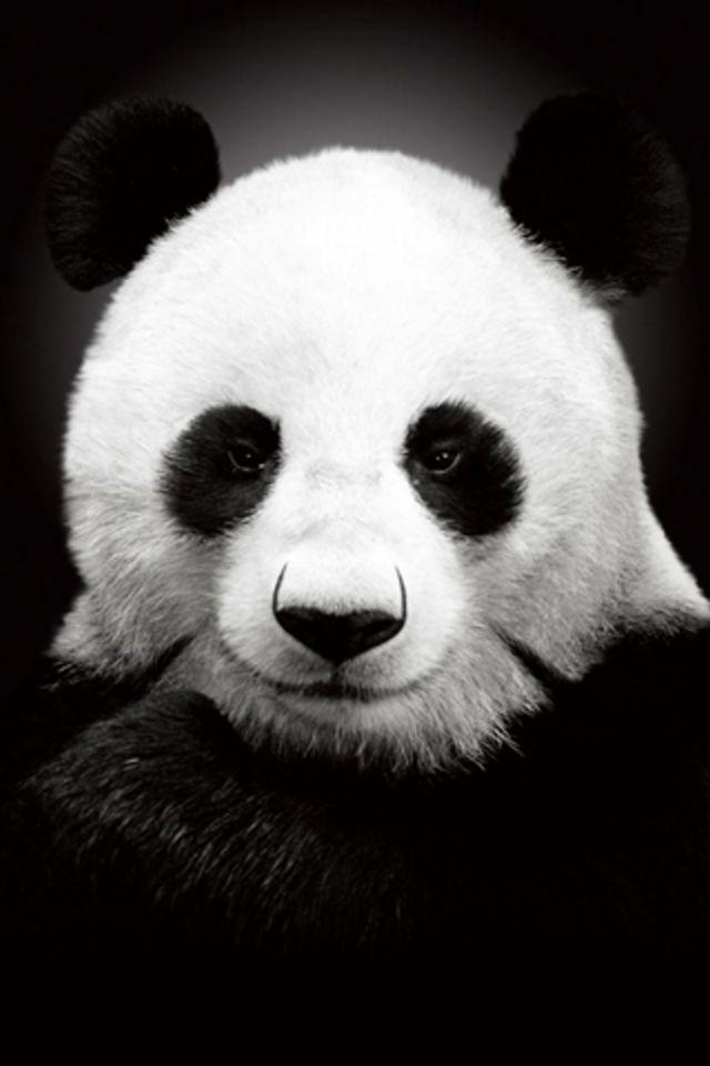 49+ Panda iPhone Wallpaper on WallpaperSafari