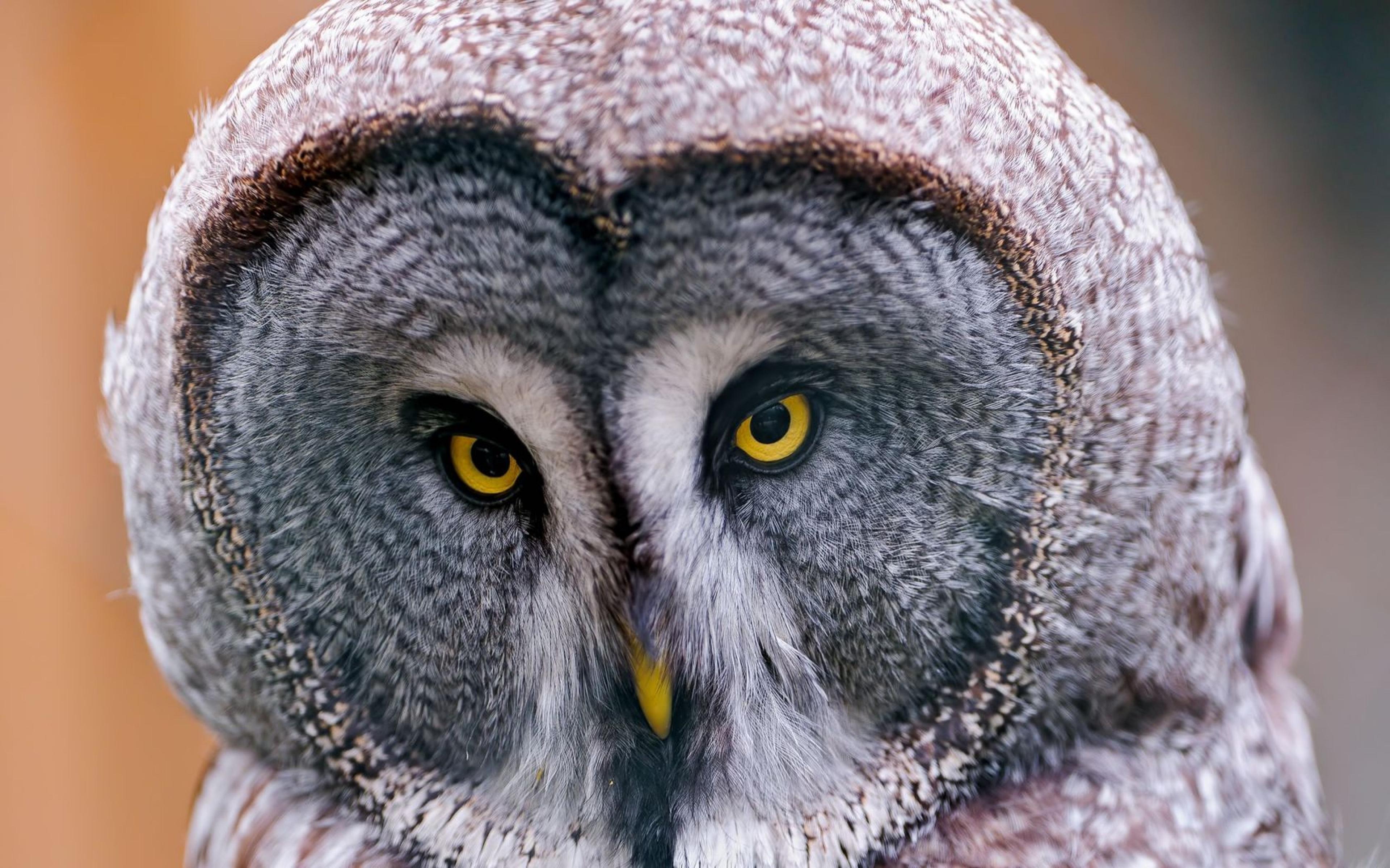 41+ 4K Owl Wallpaper on WallpaperSafari