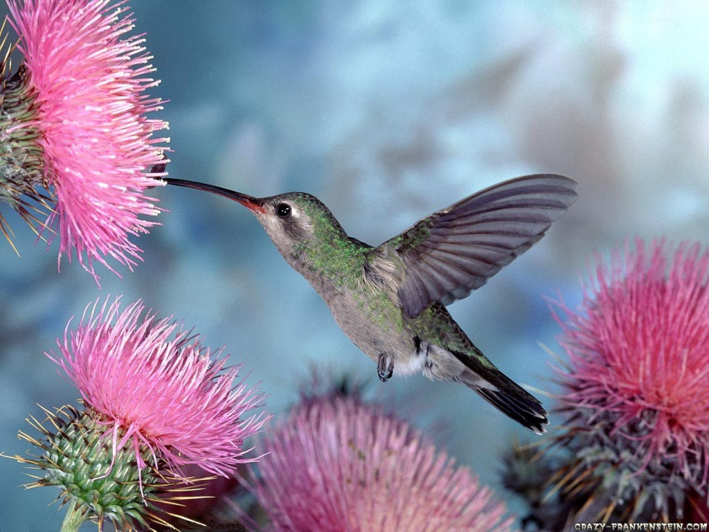 Beautiful Birds Desktop Wallpapers   Humming Bird 1024x768