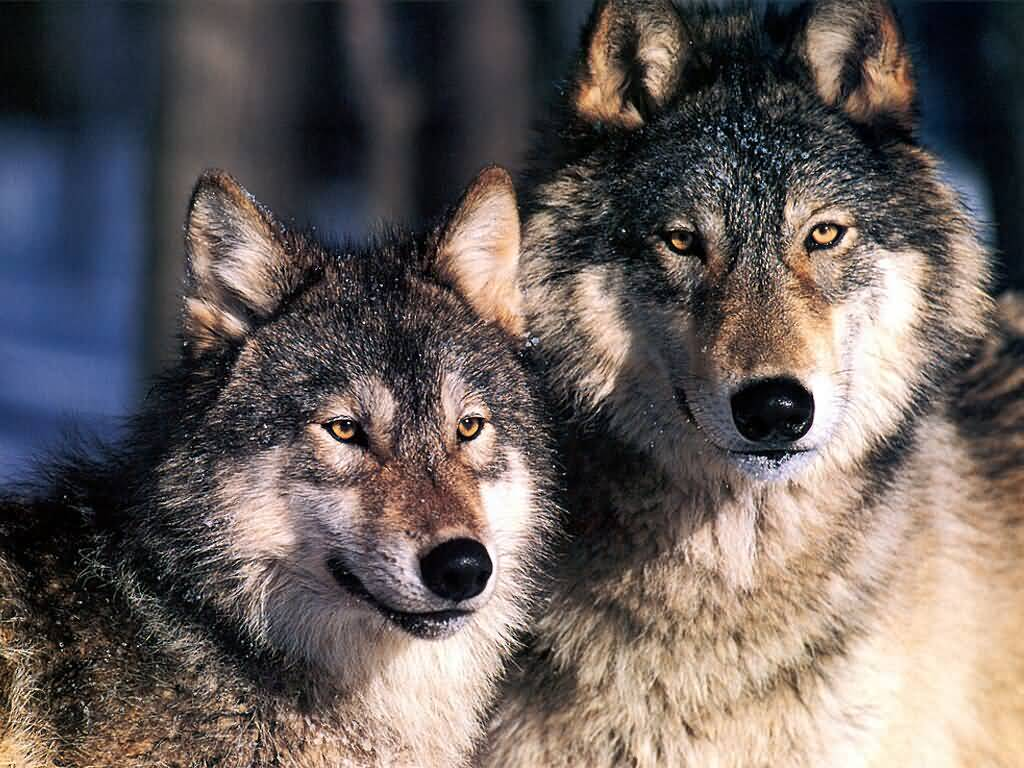 Wallpaper Blog gray wolf backgrounds 1024x768