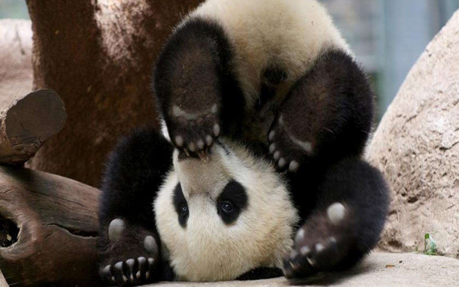 Displaying 14 Images For   Cute Baby Panda Bears 1584x990