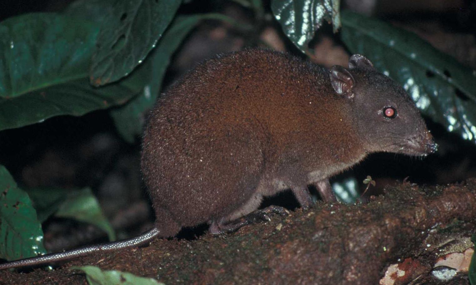 Meet the musky rat kangaroo our smallest kangaroo   Australian 1524x915