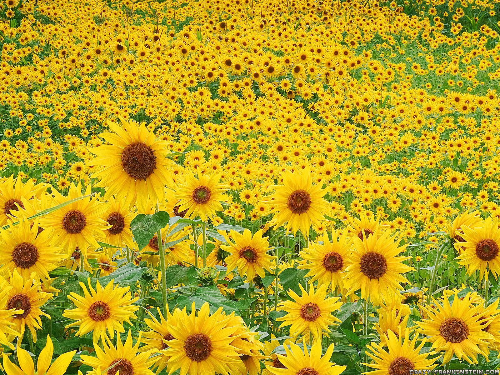 Free Download Digital Quotes Sunflower Wallpaper 1600x1200 For