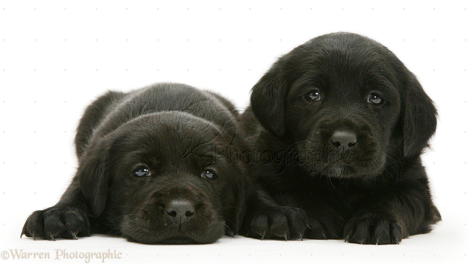 Dogs Labrador Puppies 1526x859