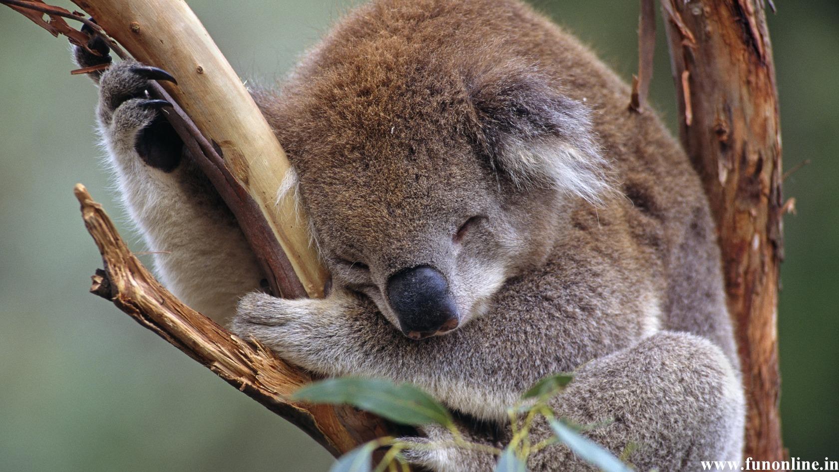 Cute koala bear sleeping