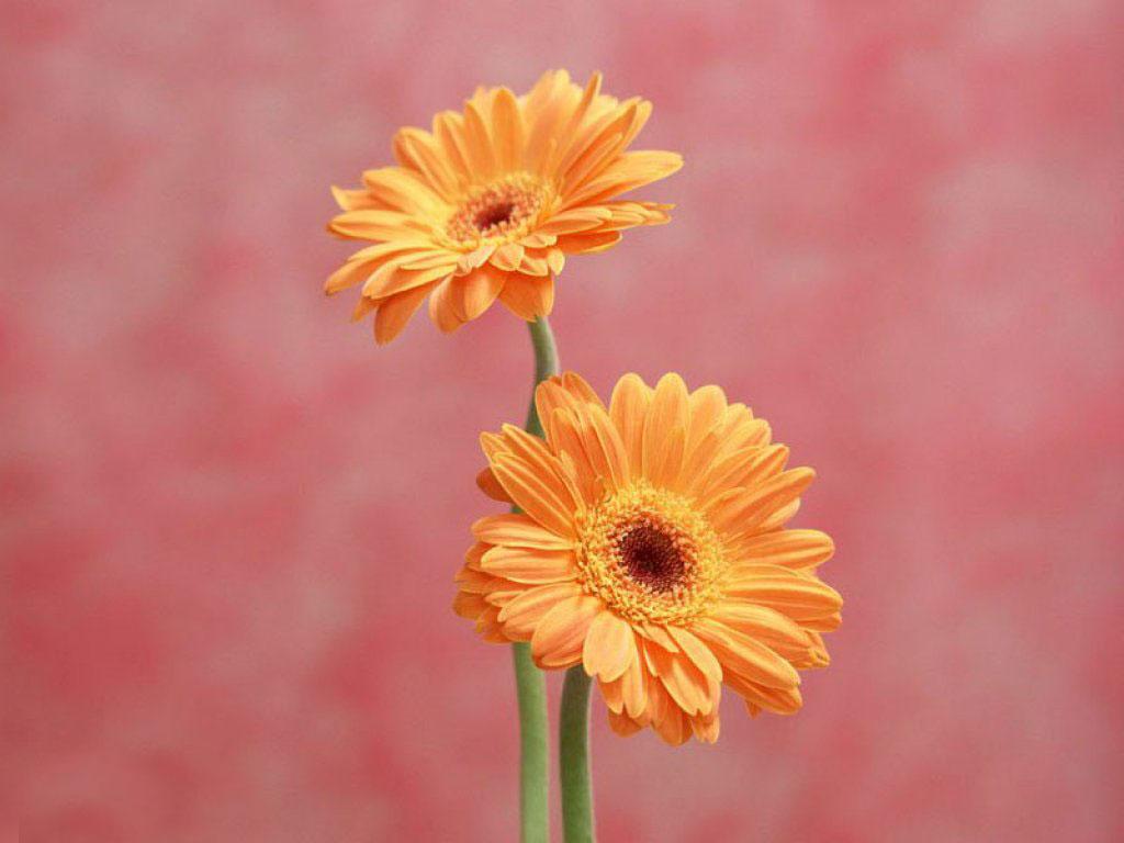flowers for flower lovers Daisy flowers HD desktop 1024x768