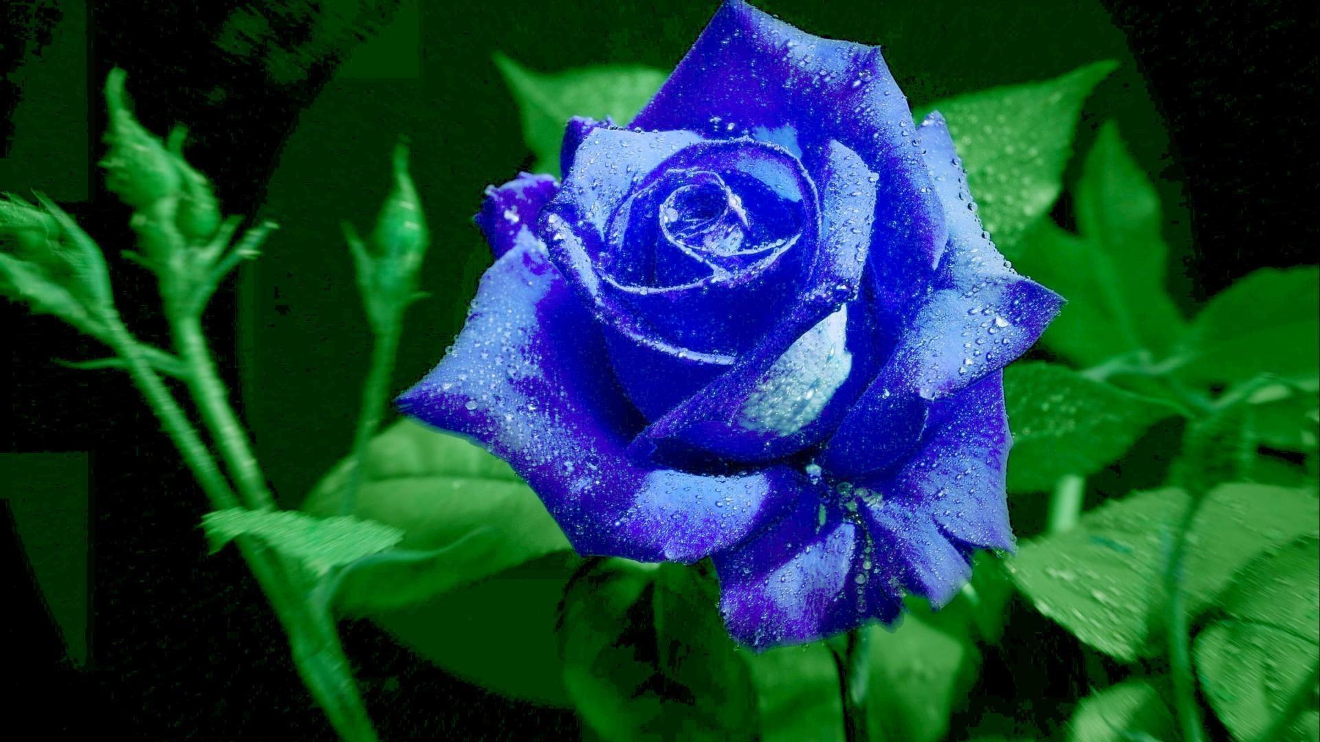 Blue rose wallpaper for desktop wallpapersafari - Rose desktop wallpaper hd ...