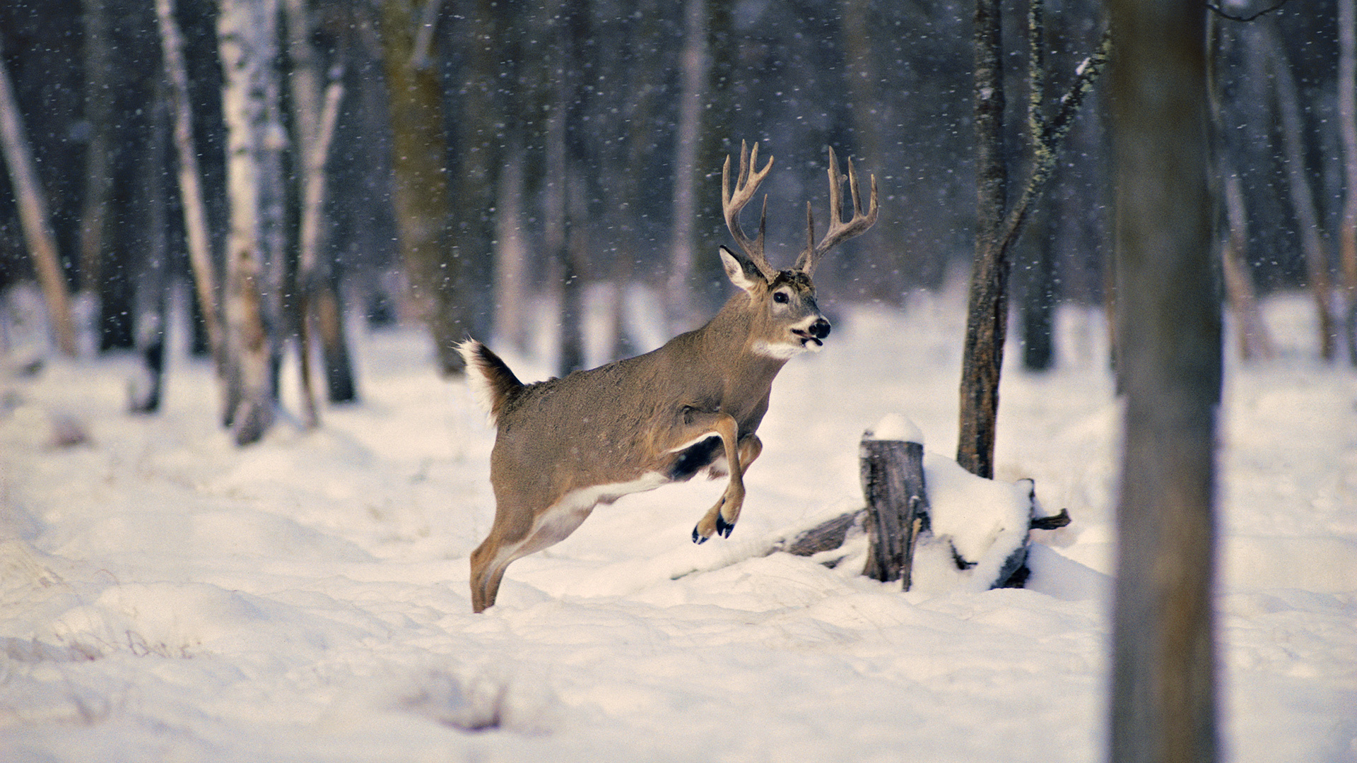 Wallpaper snow wood winter deer horn desktop wallpaper Animals 1920x1080