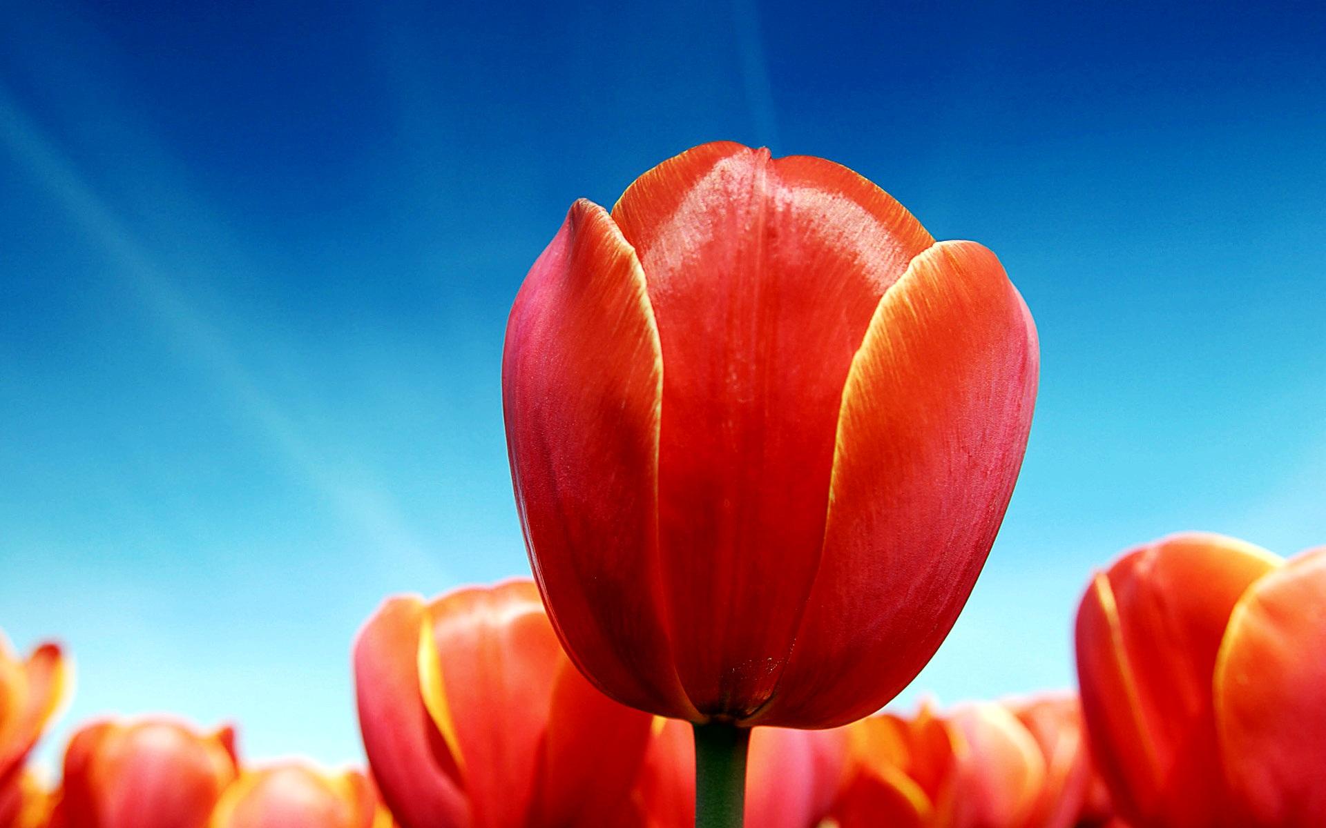 10 Tulips Flower Wallpaper For Your Desktop Background