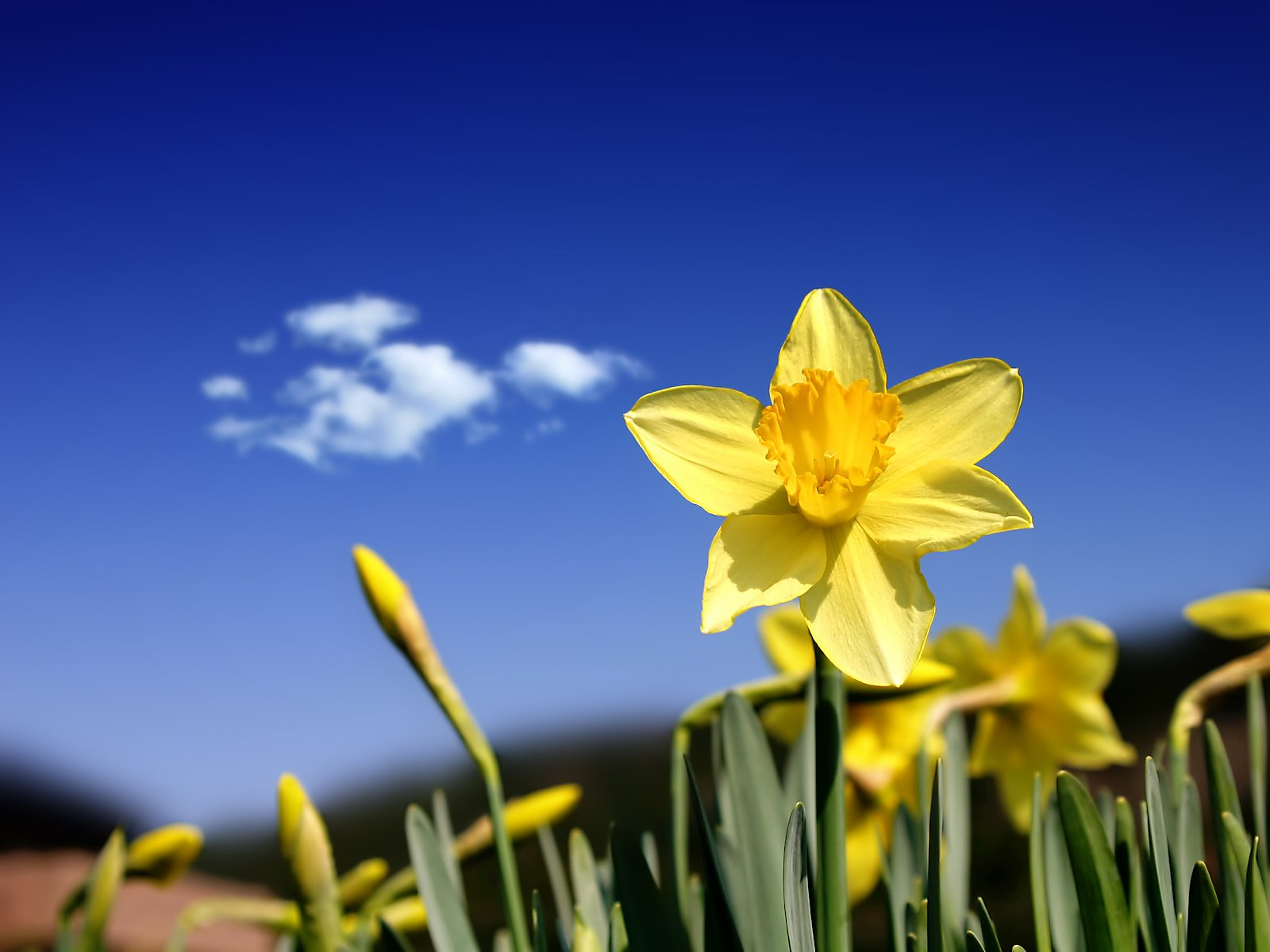 1600x1200 Beautiful daffodils desktop PC and Mac wallpaper 1600x1200