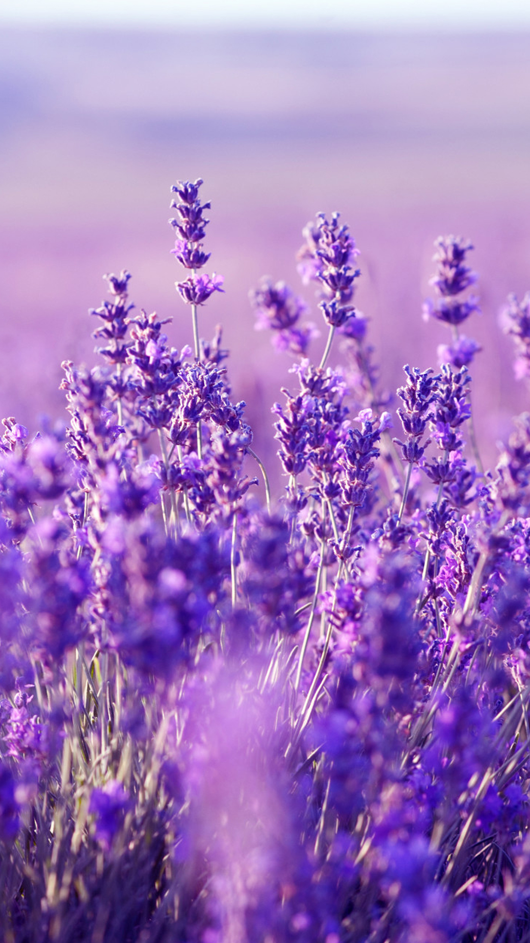 Beautiful Lavender Wallpaper HD Lavender Mobile 1080x1920