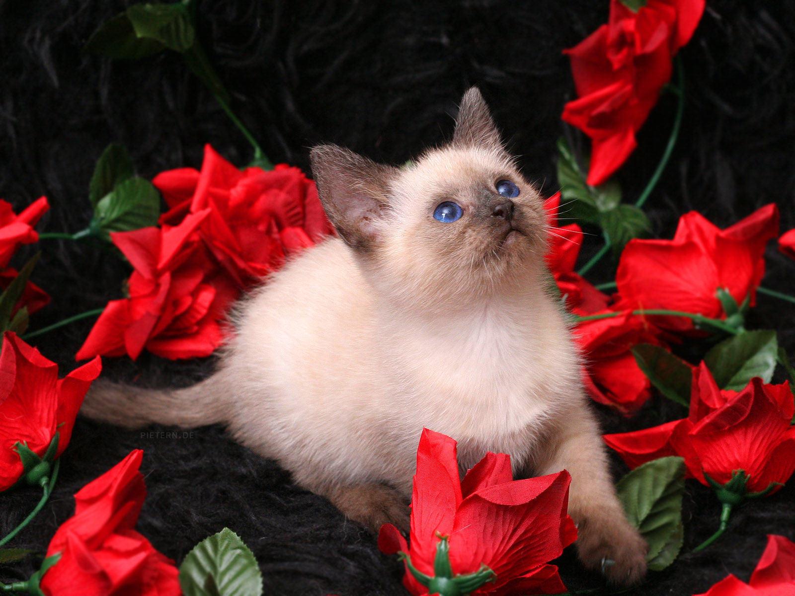 pretty roses wallpaper  wallpapersafari, Beautiful flower