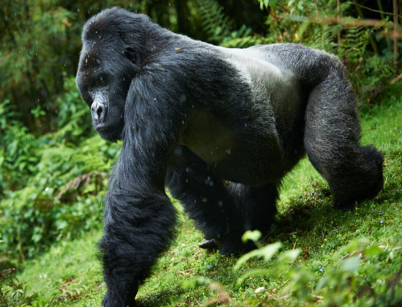 Free Download Animals Mountain Gorilla Pictures Wallpapers