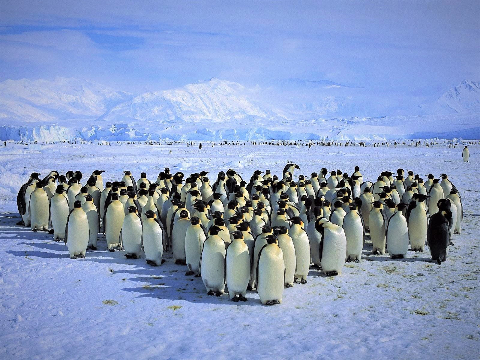 King Penguins in Antarctica Wallpaper and Background Image 1600x1200
