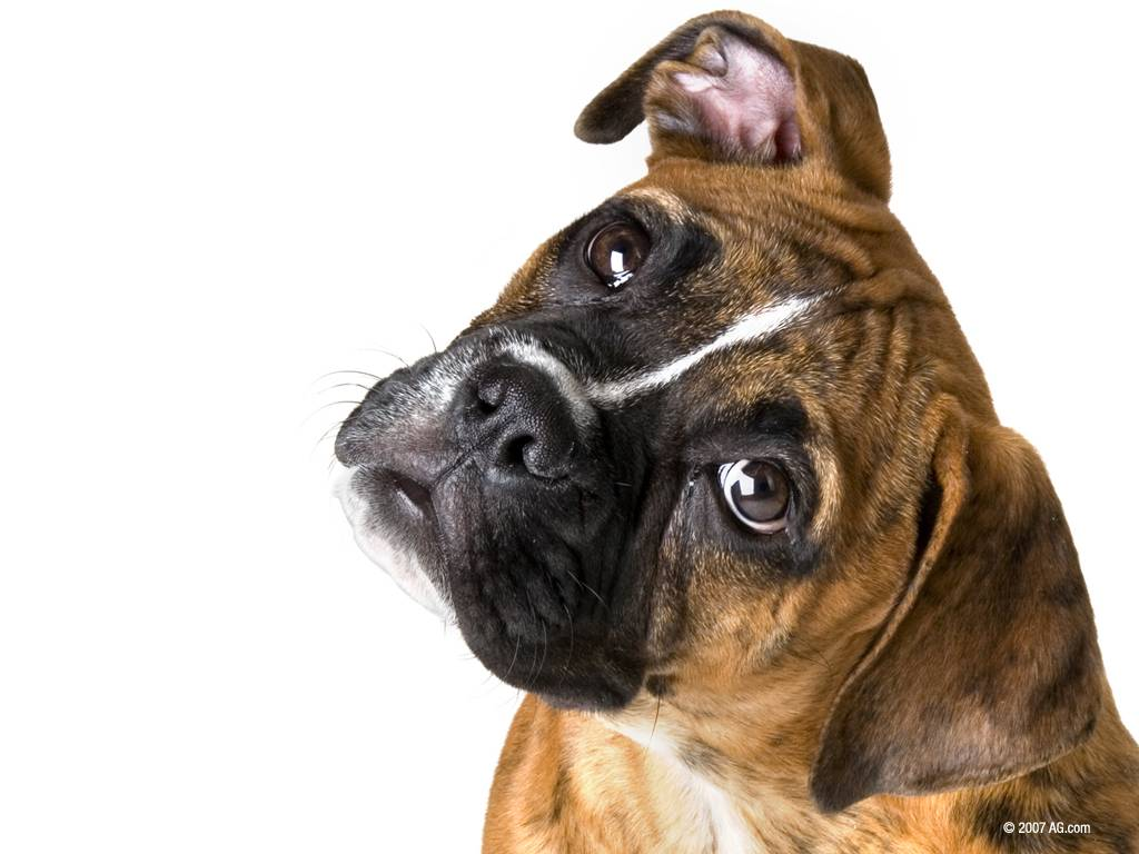 Boxer Dog Boxer dog desktop wallpaper 1024x768