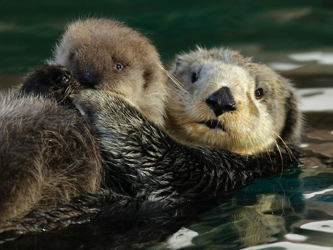 Baby Sea Otter Photo Galleries and News Photos News Pictures 650x488