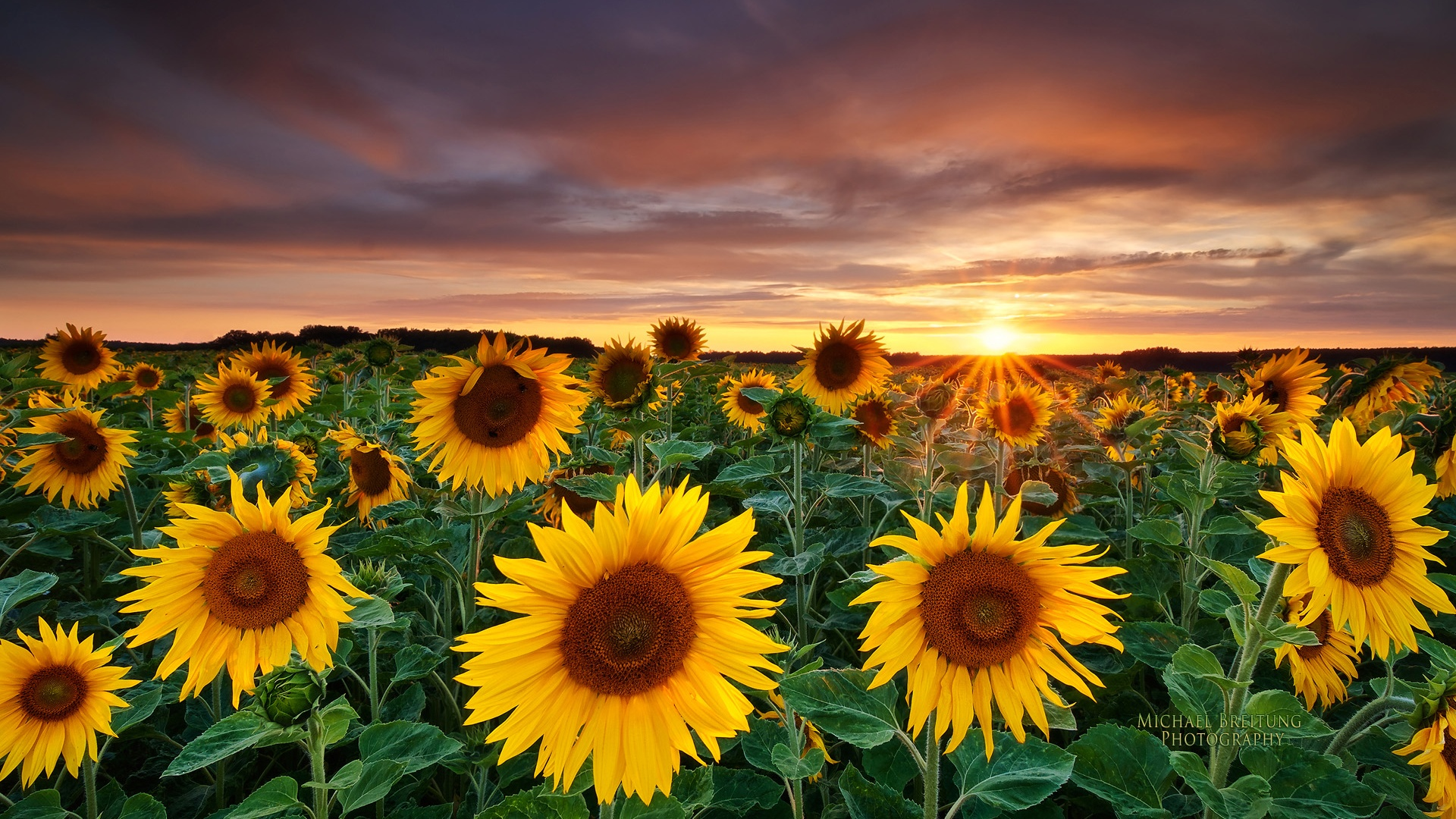 Sunflower Desktop Wallpapers Download 1920x1080