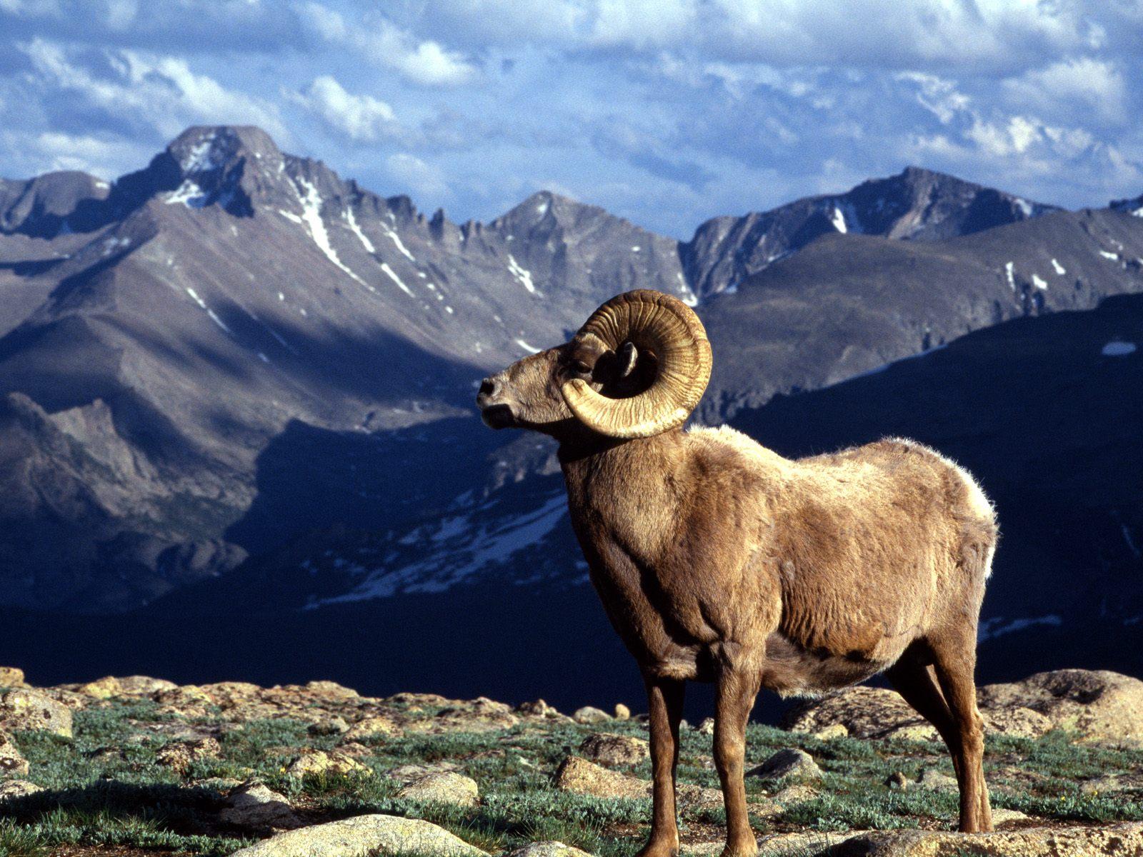 Horn Ram Rocky Mountain National Park Colorado   Wallpaper 10675 1600x1200