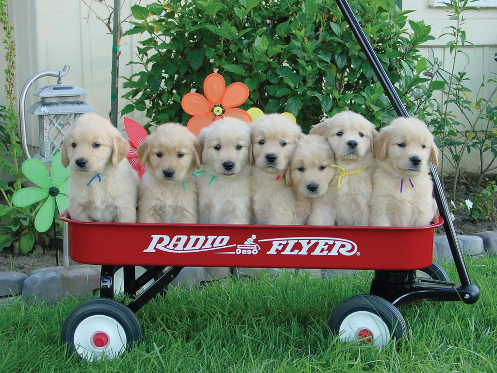 fun wonky question Lets savor it with a wagon full of puppies 1024x768