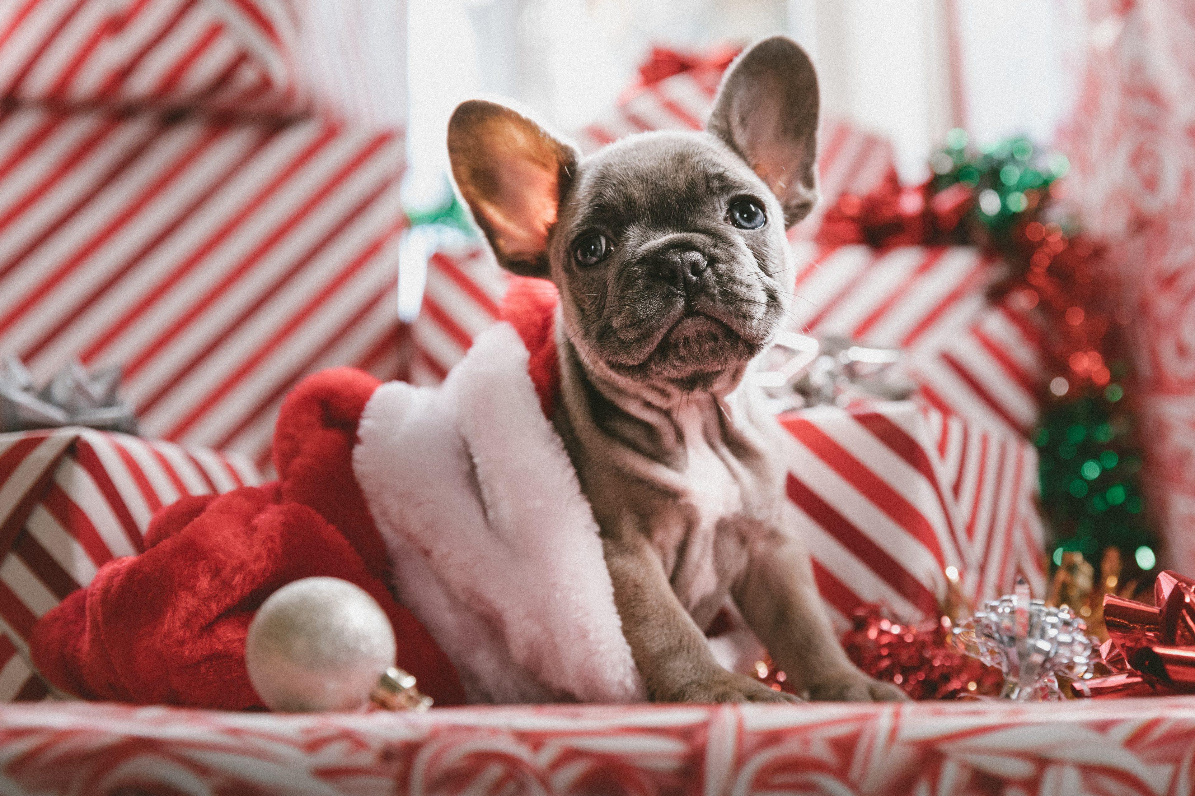 Christmas Dog Wallpapers 3840x2560