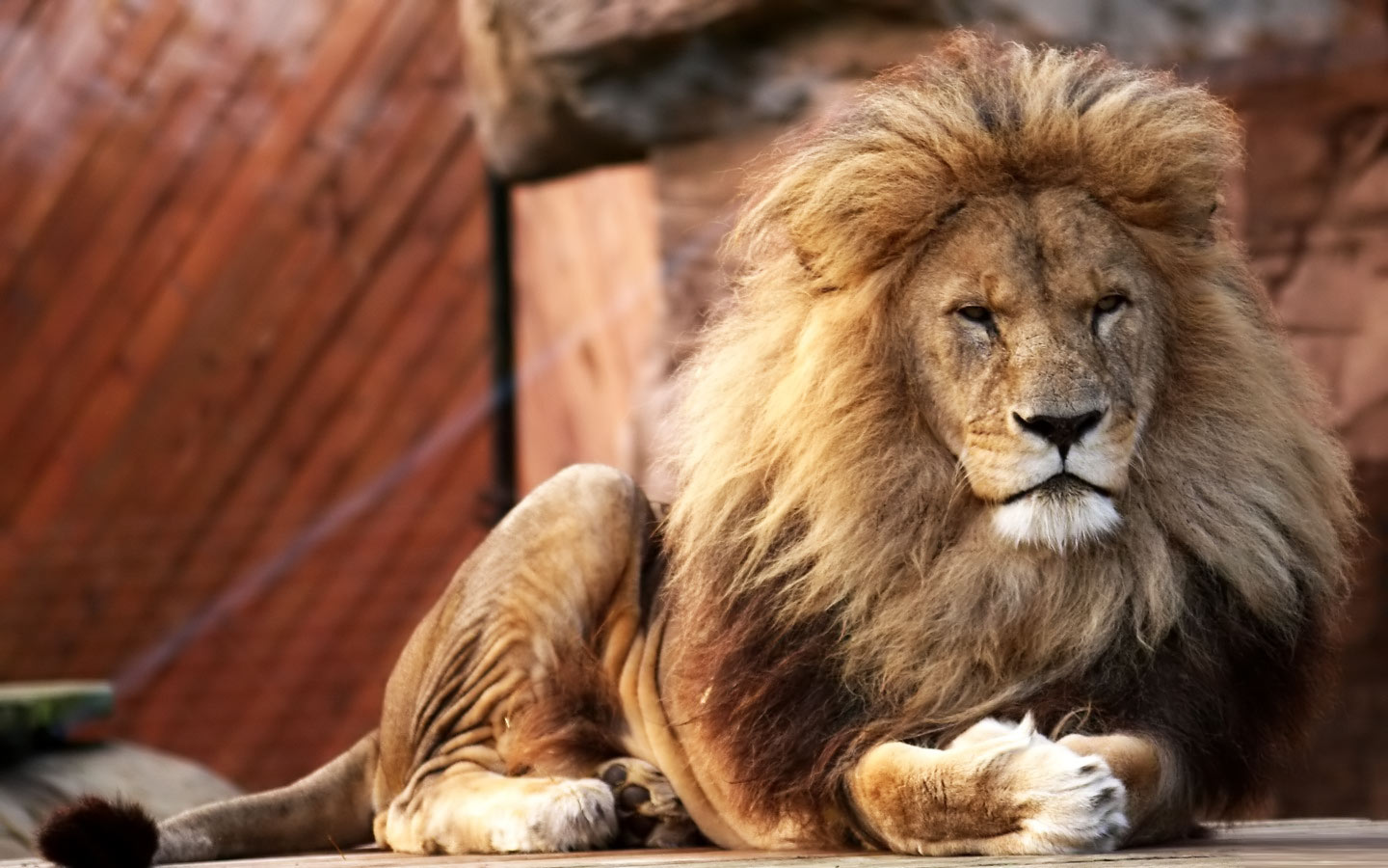Lion Wallpaper Desktop 10655 Hd Wallpapers in Animals   Imagescicom 1440x900