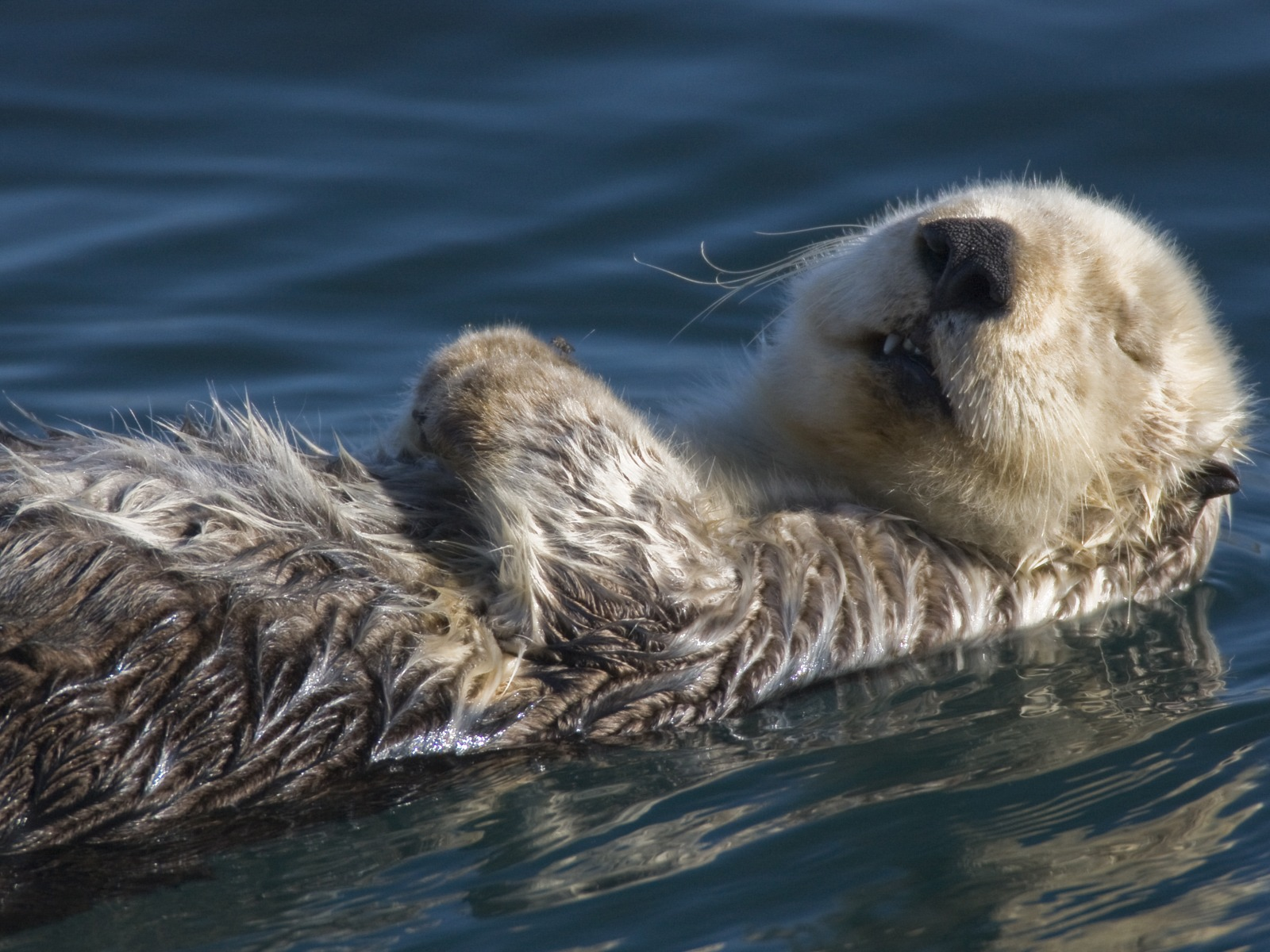 Sea Otter Wallpaper Other Animals 1600x1200